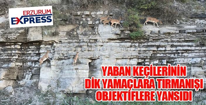 Dik kayalıklara tırmanan yaban keçileri görenleri şaşkına çevirdi